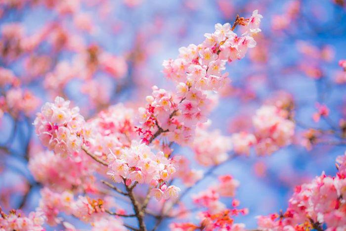寒い冬が終わり暖かな春がやってくると、家族や友人を誘ってお花見に行きたくなりますね。キレイに咲いた桜の木の下で、親しい人たちと美味しいものを食べる瞬間は格別です。お花見の時に、春らしい雰囲気の和菓子を持っていくと、きっと場が盛り上がるはず。春の食材を使ったり、春らしい優しい色合いを楽しめる手作り和菓子のレシピをご紹介します。