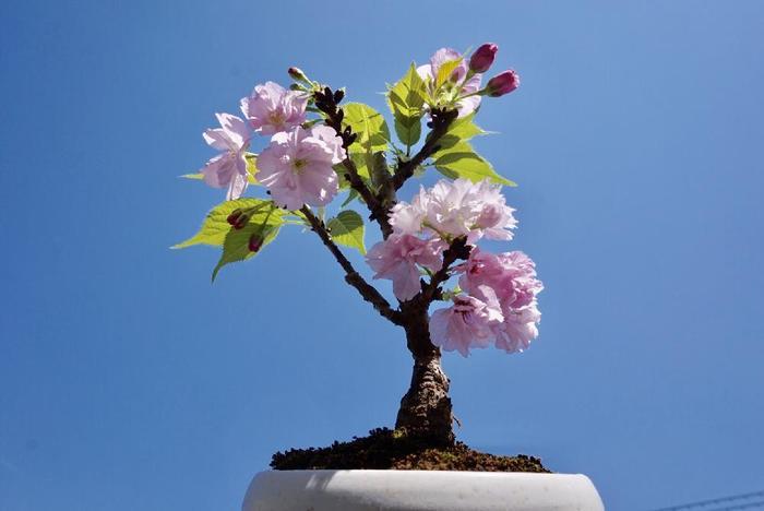 初心者の方にまずおすすめしたいのが「旭山(あさひやま)桜」。別名・一才桜とも呼ばれているこの桜は、若い木のうちから花を咲かせてくれる品種。花が開いている期間も長いので、ゆっくりと桜を楽しむことができます。寒さにも強いので、初心者さんにもお手入れしやすいのが特徴です。
