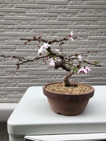 桜は毛虫などの害虫が発生しやすい植物。特に剪定をした後などの弱っている時には、注意が必要!害虫がつくと病気に罹りやすくなってしまうので、殺虫剤などを使用して早めの駆除しましょう。