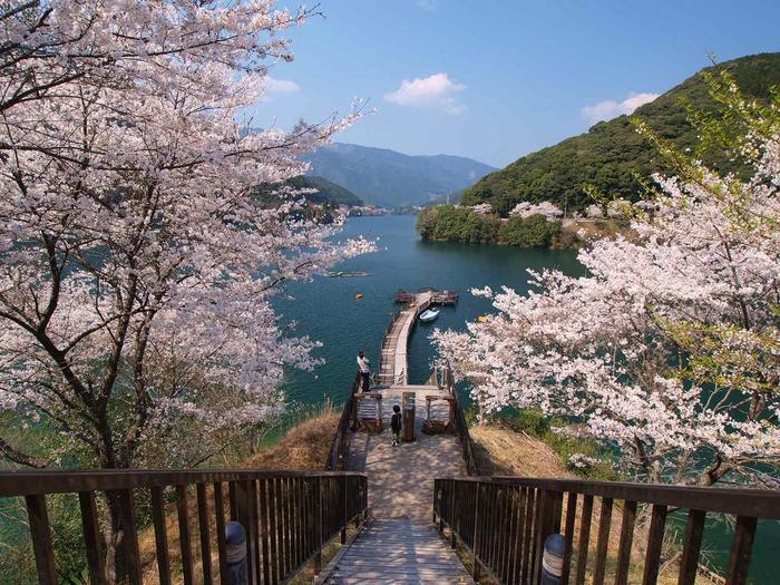 熊本・球磨川にある「市房ダム湖」は、熊本を代表する桜の名所。昭和35年(1960年)に完成し、桜の植栽が始まりました。ダム周辺14kmには10000本の桜があり、満開になった風景はまさに圧巻です。普段は静かな場所ですが、桜の時期は多くの人でにぎわいます。