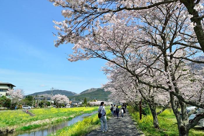 桜のピンク色と菜の花の黄色のコントラストが美しく、自然豊かな由布院の風景を楽しめますよ。見頃は4月上旬頃で、駅から歩いて5分程なので、気軽に見ることができるのも嬉しいポイント。由布院の春の空気に包まれながら、桜を見てのんびり散策してみましょう♪