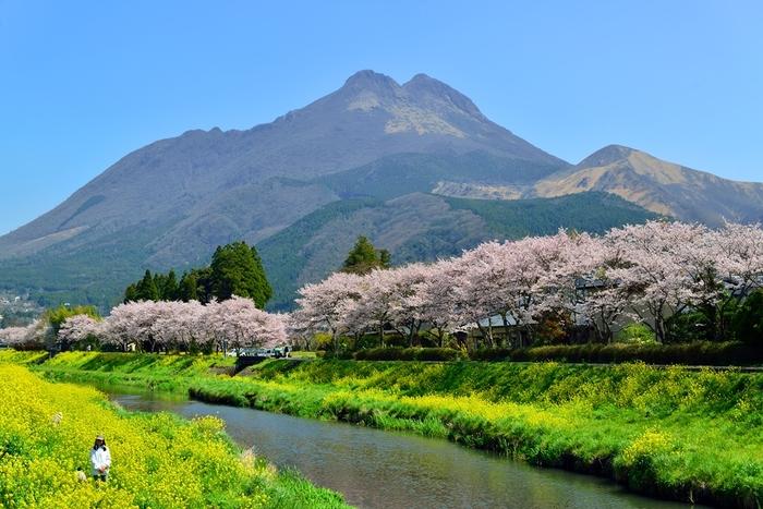 大分を代表する観光地である由布院。大分川沿いの御幸橋から城橋までの散策路は、桜の名所として知られています。由布岳をバックに桜と菜の花が咲き誇る様子は圧巻!春の由布院を象徴する風景として、地元の人や観光客も訪れる春のフォトスポットです。