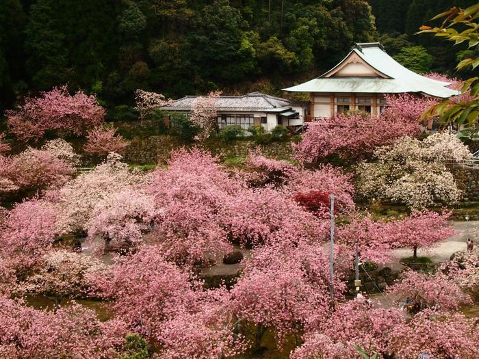 """境内には、松月や一葉など15種以上約800本のヤエザクラが植樹されています。ヤエザクラを上から見下ろすことができるのは全国でも珍しく、まさに絶景です。谷から吹く風で桜の花びらが舞う様子は""""桜の竜巻""""と称され、訪れる人を楽しませています。"""