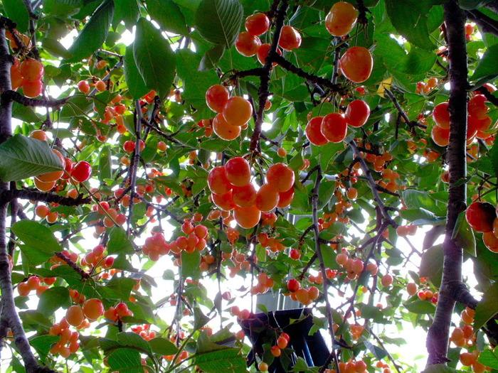 ヘルシーで美容にも良いさくらんぼ。山形は全国生産量の7割を占め、県内の至るところに果樹園があります。シーズンの6月頃にはあちこちでさくらんぼ狩りが楽しめますよ。