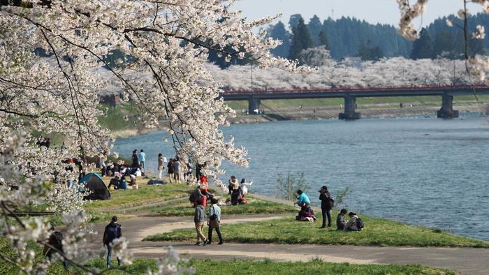 角館のメインエリアから歩いてすぐの「桧木内川(ひのきないがわ)」も桜の名所です。昭和9年(1934年)に天皇御誕生記念として植えられたソメイヨシノは約2キロにも及び、まるで桜のトンネルのよう。地域の方の保護管理により、毎年見事な花を咲かせていて、平成2年(1990年)には武家屋敷通りと共に「日本さくら名所100選」に選ばれました。