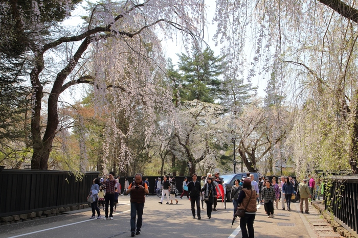 江戸時代に城下町として栄えた角館。「武家屋敷通り」には、今も約400年前の面影を残す町並みが残っています。1年を通して人気のある観光名所ですが、特におすすめなのは春。しだれ桜が通りの両側に咲きほこり、淡いピンク色の花びらが舞う様子はとても優雅。
