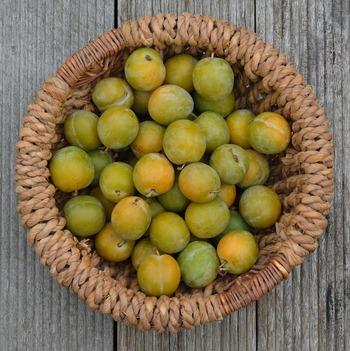 レーヌ・クロード。フランス原産のプルーンの一種で、日本では軽井沢町に隣接する小諸市のみで栽培されています。