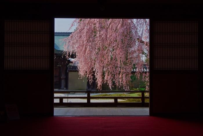 高台寺は、方丈前庭のしだれ桜が一番の見所。夕方からはライトアップされ幻想的な風景を楽しむことができますが、お昼間に方丈の縁側からのんびりとしだれ桜を眺めるのも風流で素敵ですよ。清水寺からもほど近い場所にあるので、合わせて訪れてみてはいかがでしょうか。
