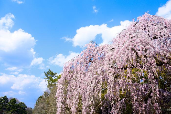 市内の中心に位置し、都が東京に移ってから国民公園として市民に開かれた「京都御苑」。苑内には約5万本と言われる多くの樹々が植えてあり、四季を通じてさまざまな表情を見せてくれます。しだれ桜が3月中旬頃から咲き始め、ヤマザクラ、サトザクラと続き5月上旬まで長く楽しめるのも人気のポイントです。
