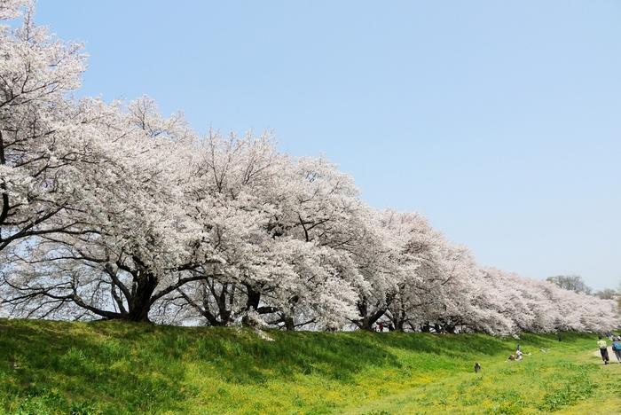 石清水八幡宮からもほど近く、宇治川と木津川の合流地点に全長1.4キロにわたり河川を区切るように設置されている「背割堤防」。洪水時に両河川を安全に合流させる役割がありますが、淀川河川公園の景観保全地区にも指定されており、ソメイヨシノが立ち並んでいます。その景色はとても優美で、この桜並木を見ようと毎年多くの観光客が訪れ賑わいをみせています。