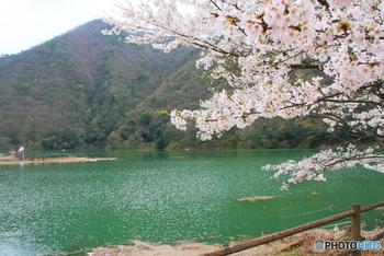 南丹市美山に流れる一級河川・由良川に建設された「大野ダム」。1000本を超える桜が咲きほこり「大野ダムさくら祭」が催されています。満開の時期が少し遅めなので、市内の桜を楽しんでから、さらにお花見を満喫することができますよ。