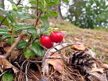 北欧で広く知られる野生の果実。日本では高山~亜高山地帯の岩場で見つかります。 ビタミンEやポリフェノールの含有量の多さから、スーパーフードの異名も。