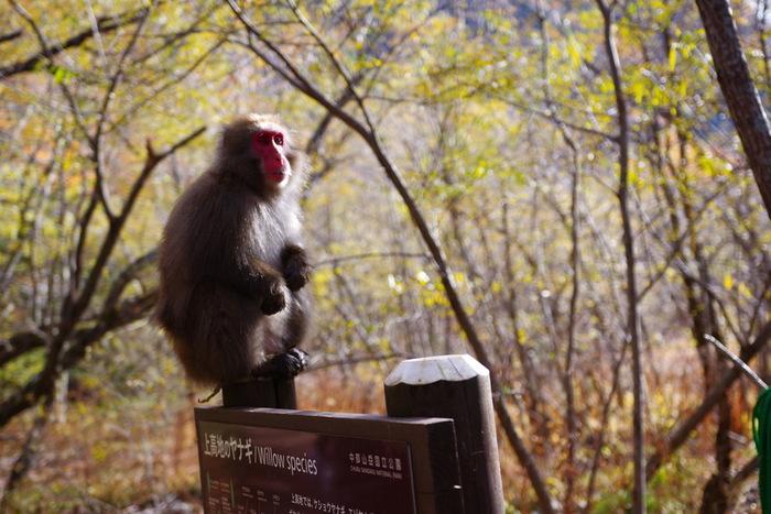 遊歩道を歩いていくと、時々、ニホンザルやツキノワグマと会えることも…。クマの出没情報は極まれなことだそうですが、サルは、遊歩道近くに顔を出すことが多いんだとか!手を出したりせずにそっと見守りながら、その可愛らしい姿を写真におさめてみてはいかがでしょうか…。