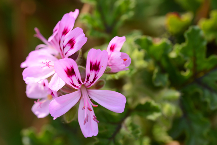 また、センテッドゼラニウム、ラベンダー、タイムなどのハーブは、それ自体に虫除け効果があります。ハーブは花も可愛らしいのでおすすめです。ハーブの香りの虫除けスプレーを使うのもいいようです。