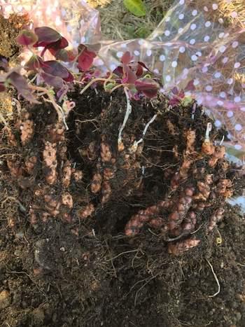 一年草は植え替えの必要がありませんが、多年草は植え替えをして新しい環境を整えてあげましょう。植物が生長することでスペースが狭くなり、土の中の栄養も減っていますので、植え替えでリフレッシュさせることは植物を長持ちさせるために効果的です。