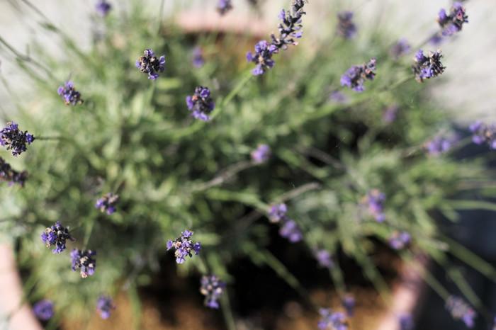初心者の方には、ラベンダーの苗の鉢植えがおすすめ。苗植えの適期は3~4月、開花は6~8月。花を楽しむだけでなく、ドライフラワーやポプリにできるのが魅力ですね。水やりは、土が乾いたらたっぷりと。肥料は、月1回程度、緩効性のものを。