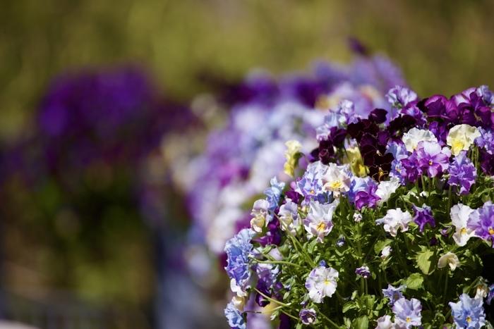 花の色は、同系色か反対色でまとめ、3色以内に抑えるのもバランスをよくするコツ。暖色系なら赤・ピンク・オレンジ、寒色系なら水色・青・紫など同系色でそろえると、上品で落ち着いた雰囲気の寄せ植えに。