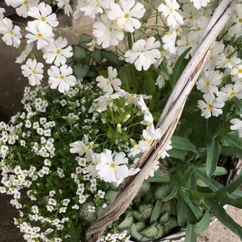 白い花だけを寄せ植えするのも素敵ですね。気品あるたたずまいは、玄関などに置くと映えそう。