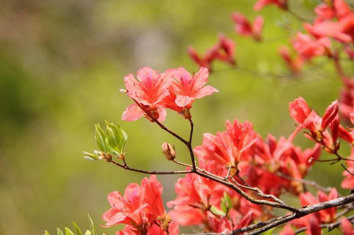 ヤマツツジ、トウゴクミツバツツジなど様々な種類のツツジを4月下旬から6月にかけて楽しむことができます。