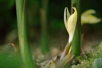 ミョウガはそのうちに、つぼみから花が咲きます。淡い黄色のかわいい花ですが、咲いてしまうと食感が悪くなり味が落ちてしまうので、食用には向きません。花が開く前に収穫しましょう。