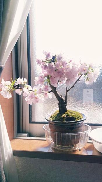 剪定は、桜の葉が落ちる11~2月頃に行います。あまりに葉が茂ってしまうと、虫や病気発生の原因に…。毎年こまめに行ってあげてください。