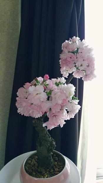 盆栽初心者さんは、通販や店舗で購入するのがおすすめ。樹高が10cm以下のミニ盆栽など、おうちでの鑑賞にぴったりな小さな桜盆栽も♪品種にもよりますが、価格は3000円から10000円ほどで販売されています。