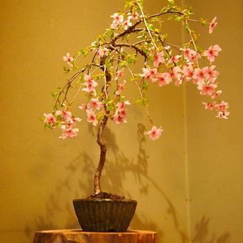 枝が柔らかい「しだれ桜」は、下方向へと垂れ下がるように伸びる品種。垂れた枝が地面につかないよう気を付け、室内よりも風通しの良い屋外で管理しましょう。