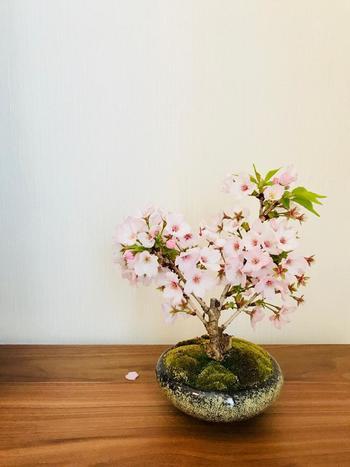 広いスペースがなくても、お庭やベランダで育てられる美しい『桜盆栽』。今年の春には『桜盆栽』で、おうちに小さな春を迎えてみませんか?