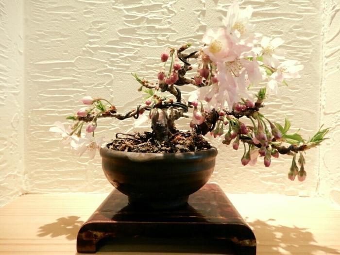 日本でもっとも良く見られる桜が、迫力ある樹形が美しい「ソメイヨシノ」。成長速度が速く、比較的若木のときから花を咲かせてくれます。種をあまり付けないため、接ぎ木苗から育てていくのが一般的な育て方。虫や病気に弱い性質を持っているので、こまめな観察を心掛けましょう。