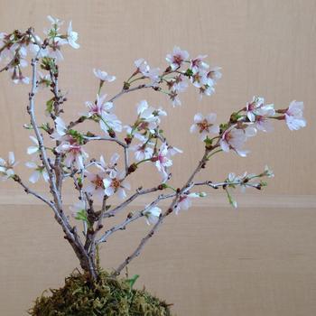 「豆桜」は別名・富士桜とも呼ばれ、その名前のとおり小ぶりな花や葉を付けるので、盆栽に向いている桜の種類です。花びらは白や薄ピンク色で、下向きに花を開かせます。