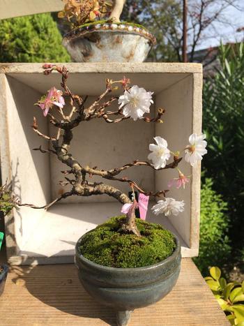 白や薄いピンク色の花びらが可憐な「十月(じゅうがつ)桜」。春と秋に花を咲かせてくれるので、1年に2回も桜を楽しむことができるんです。