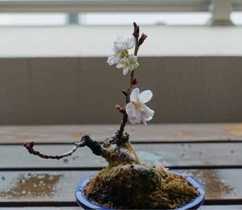 桜を元気に育てるためには、肥沃な土が必要となります。盆栽の肥料おすすめは有機性の固形肥料。その後、十分に水やりをしてあげてくださいね。