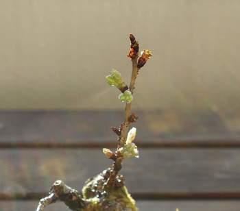 美しい桜盆栽に育てるためには、樹形を整えなくてはいけません。桜が大きくなる前に、芽摘みを行うことが大切です。