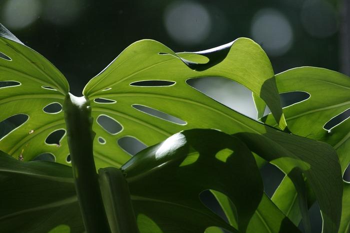 なぜ葉に切れ込みができるのか?その理由には諸説あるようですが、熱帯雨林の環境下で「日光を下の葉にまで届けるため」「風を通すため」「雨水を根に送るため」などと言われています。