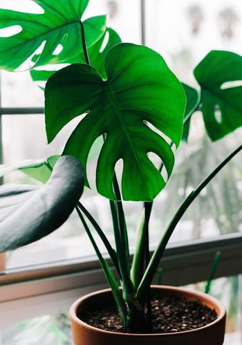 もともと熱帯雨林に自生している植物であるモンステラ。木々が生い茂る中で元気に育つ耐陰性があり、家の中でも日が当たらない場所でさえよく育ちます。
