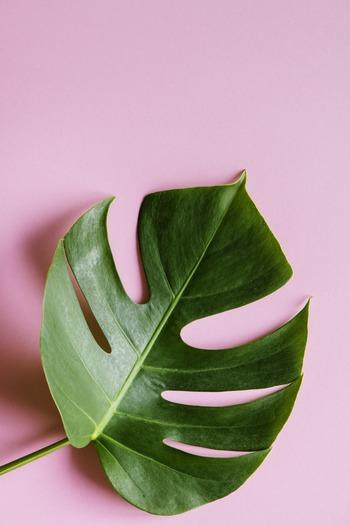 モンステラという言葉の語源には「怪物のような」「奇怪な」という意味があるそうです。そんな名がついたのも、切れ込みが入ったり葉に穴が開いたりする不思議な葉の形状を特徴としているから。葉が育つたびに異なる個性を見られるのが楽しみです。