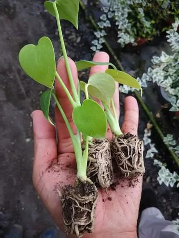若いモンステラの栽培や挿し木に適した時期は5~7月。植え替えや肥料やりは5~9月頃に。寒さが苦手なモンステラが弱らないように、気温が高い時期に行いましょう。