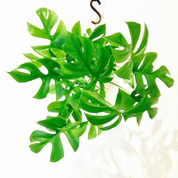 """茎がゆるやかにしなっていく""""つる性""""の特徴を生かして、上から吊るしてみるのもいいですね。"""