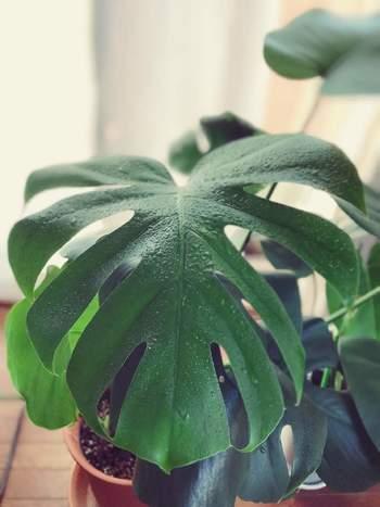 モンステラの葉は乾燥するとハダニやアブラムシなどの害虫がつくことがあります。予防のために1~2日に1回霧吹きを使って葉に水を吹きかけましょう。葉からも水分を吸収すると、モンステラがみずみずしく元気に育ちますよ。