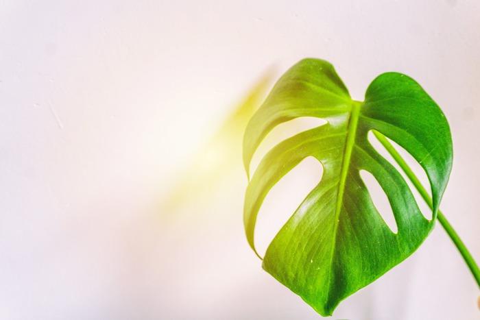 モンステラはグリーンインテリアの中でも手間がかからない品種です。特別難しいケアは必要ありませんが、ただ、健康的で美しい葉を長持ちさせるには葉焼けやハダニの発生を予防することが大切。これからご紹介するお手入れを実践してみてください。