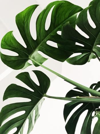 人気の観葉植物【モンステラ】。育て方からお手入れ方法・飾り方までご紹介