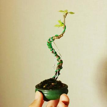 盆栽の場合、2~3年に1回は一回り大きな鉢に植え替えることで、根詰まりを防いでさらに大きく育ちます。時期は12~2月が最適です。
