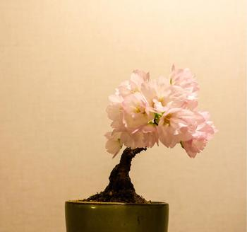 日本には、樹齢400年を超える桜も生息していますが、桜盆栽の寿命はだいたい数十年ほどといわれています。品種や育て方によっても変わってきますが、盆栽となるとやはり寿命は短くなってしまうようです。