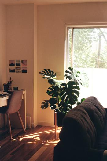 モンステラはベランダでも育てることができます。ただし、低温と乾燥に弱いので、冬場は室内に置いたほうが健康状態を保てます。
