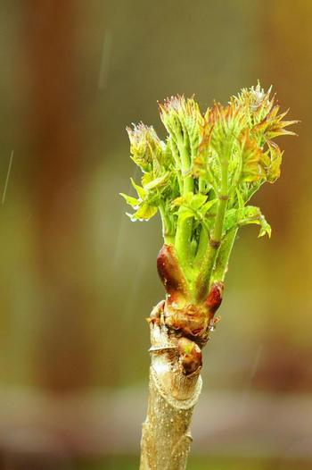 タラの芽を美味しく調理するためには、「下処理」を行うことが大事なポイントになります。ほんのひと手間加えることで口当たりがよくなり、より美味しく作ることができますよ◎。タラの芽の根元にある袴(はかま)が処理されていない場合には、そのまま調理してしまうと口当たりが悪くなってしまいます。手でむいて袴をはずし、根元の硬い部分も一緒に取り除いておきましょう。