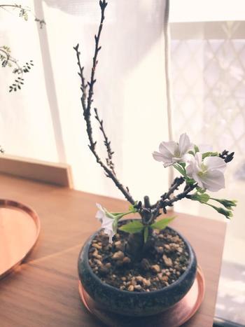 花物盆栽の中のひとつ『桜盆栽』。スペースがあまり必要ないので、美しい桜の花をお庭やベランダで鑑賞することができます。