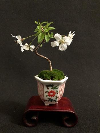 桜が開花する前のこの時期、各地で桜盆栽の教室が盛んに開かれています♪春に美しい桜を楽しみたい方は、ワークショップに参加して、プロの技を学んでみてはいかがでしょう?