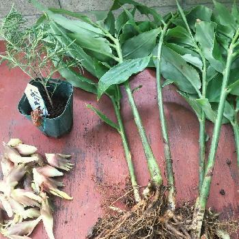 こちらの写真の通り、苗になっているものを買ってくるのも◎土の中でぐんぐん成長できるよう、鉢やプランターは30cm程度の深めのものを用意しましょう。 野菜用の培養土に堆肥や腐葉土などを混ぜ、水はけがよくやわらかな土で育てます。しっかりとした葉に育ったころ追肥をしてあげましょう。