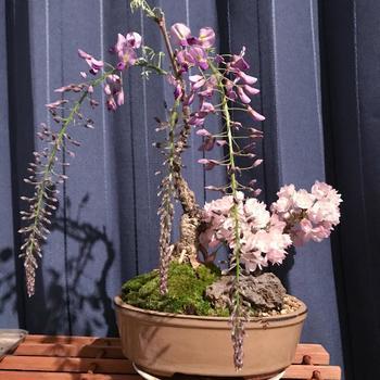 桜のピンク色と藤の淡い紫の上品な美しさを楽しめる、桜と藤の寄せ植え盆栽。桜の咲く4月から藤の開花する5月まで、その移り変わりをゆっくりと眺めることができます。