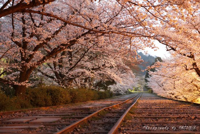 また「インクライン」は、京都市内から琵琶湖疎水へ船を引き上げるための設備で、役目を終えた今もそのままに残されています。こちらの桜並木も見事!線路を歩きながら桜並木をくぐり抜けるのがおすすめです。